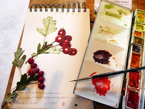 Botanical illustration of hawthorn berries y Lizzie with her paintbox