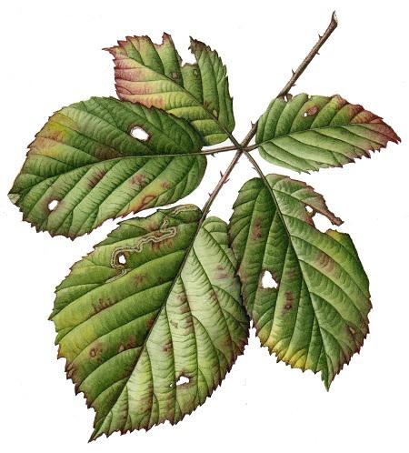Bramble leaf by Julia Trickey