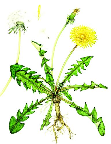 danelion leaves