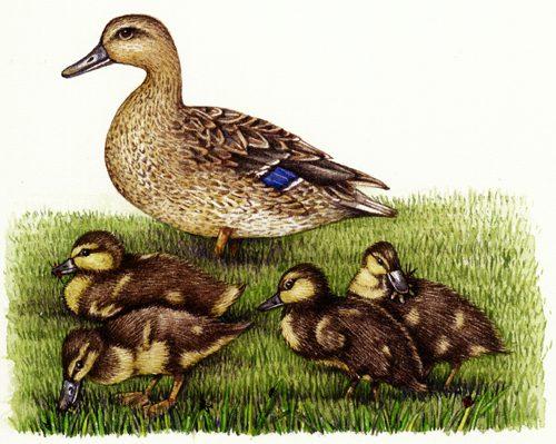 ducklings, mallard, feeding,