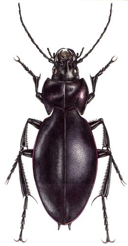 beetle, coleoptera,