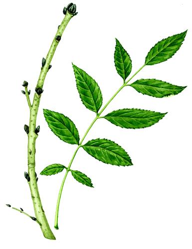 fraximus, ash, compound leaves,