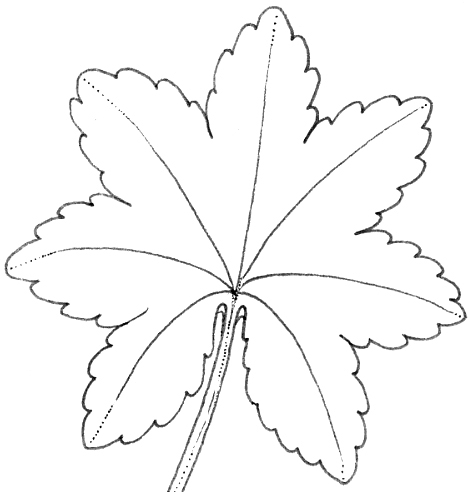 lobed, leaves,