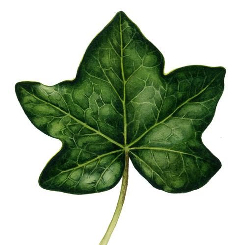 leaf, lobing,