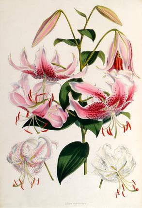 RHS lily