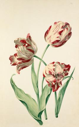 tulip by Sievert rhs