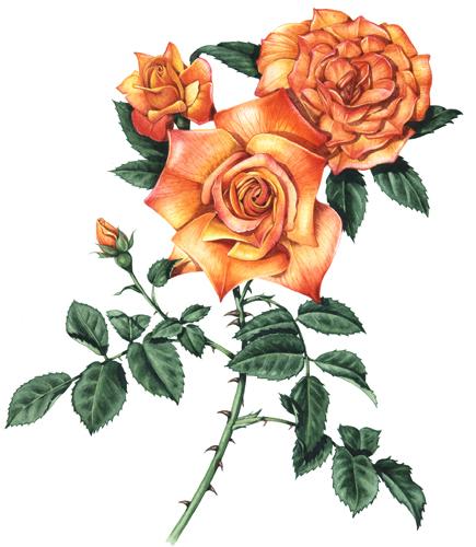 rosa, orange rose,