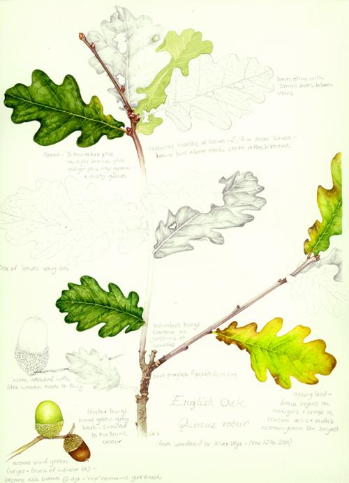 lobed leaf,