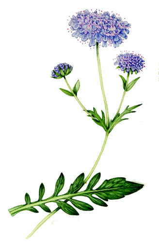 scabious, compound leaves,