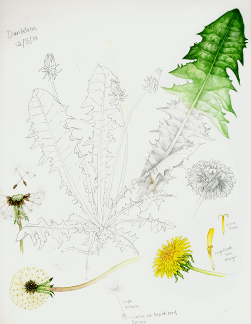 Taxicum officinale