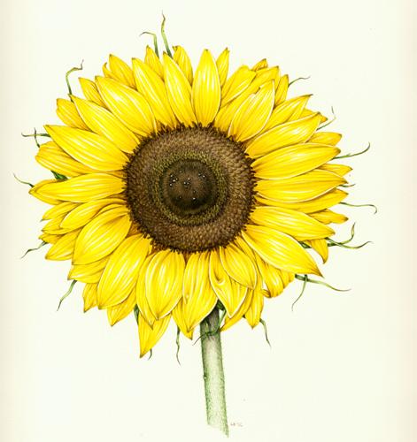 Lizzie harper botanical illustration of sunflower