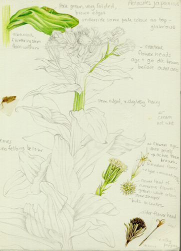 sketch, petasites