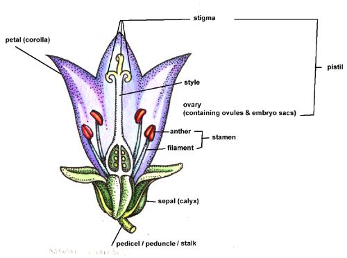 Botanical Illustration - Tips On Painting Composite Flowers