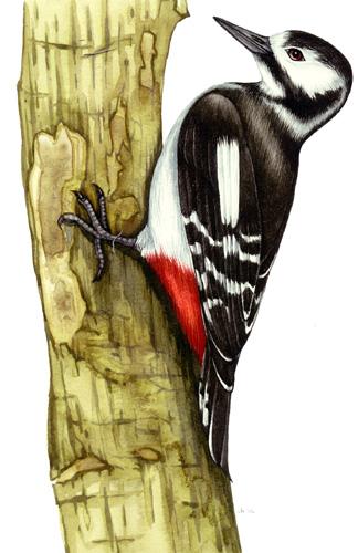 reference, scientific illustration, woodpecker,