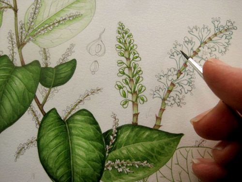 Japanese knotweed, Fallopia japonica, invasives, step by step