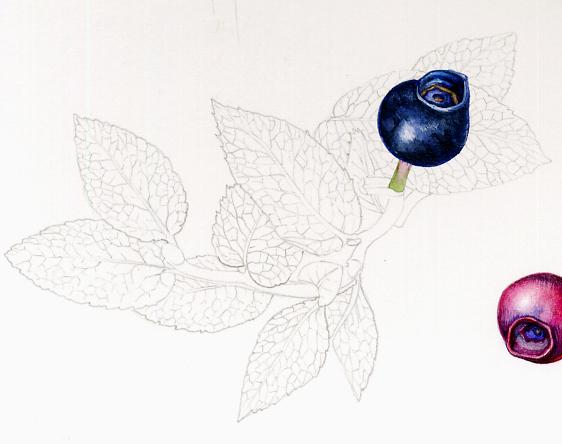 minutiae, bilberry,line drawing, leaf venation,