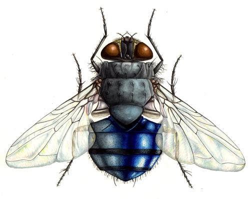 minutaea, fly, dipteran, buzz, carrion,