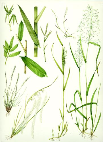 Grass, botanical illustration, sciart, graminaceae, grasses