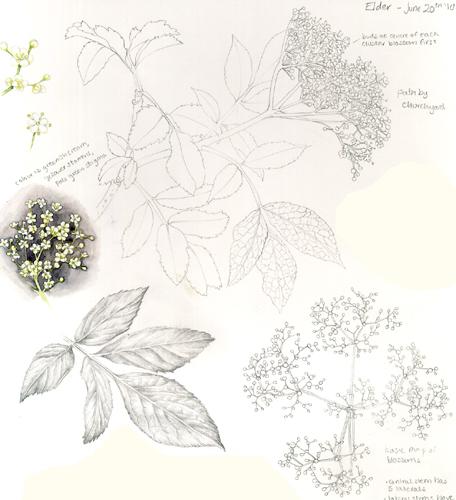 minutiae, elderflower cordial, elderberry, Hedgerow Handbook,