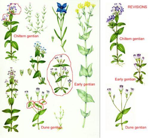 Mistake, fixing mistakes, error, fixing it, mending, white gouache, natural history illustration, botanical illustration,