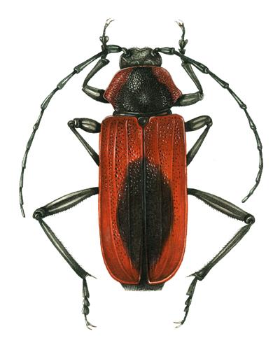 minuiae, red beetle,