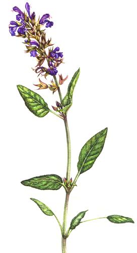 minutiae, sage flwoer, wrkinly leaves,