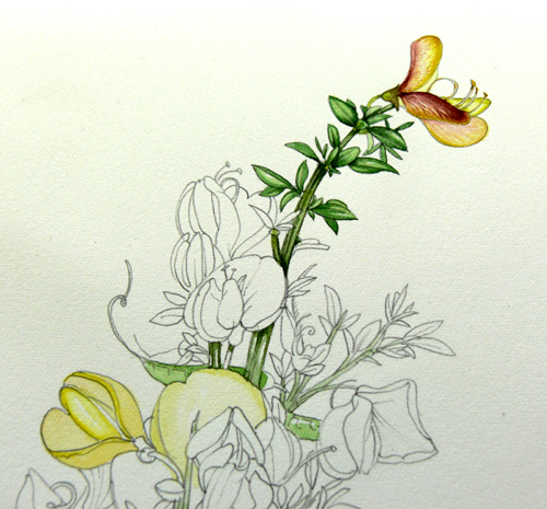 Cytisus, Hedgerow handbook, flower painting, step by step, sxs,