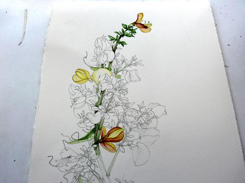 Sketchbooks, sketchbook study, gathering reference, botanical illustration, drawing, wild flowers, Genisteae, Cytisus,