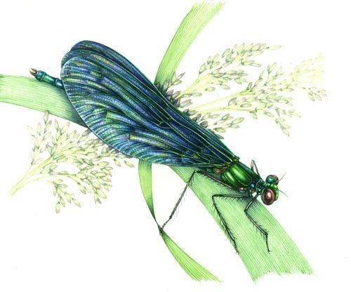 entomology, entomological illustration, illustrating stamps, natural science illustration, dragonfly,
