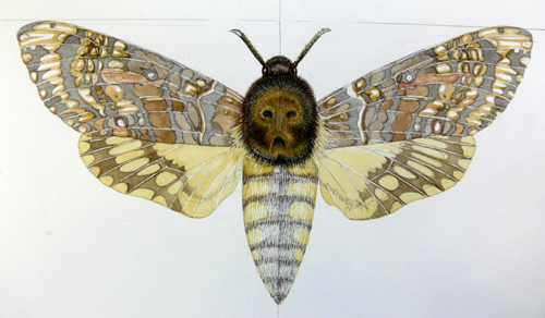 Hawkmoth, lepidoptera, Achenrontia, deaths head, deathshead,