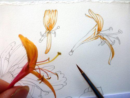 Sxs, step by step, art tutorial, watercolour techniques, online class, tutorial, botanical, botanical art, flower painting, sketchbook, sketchbook style, sketchbook study, honeysuckle,