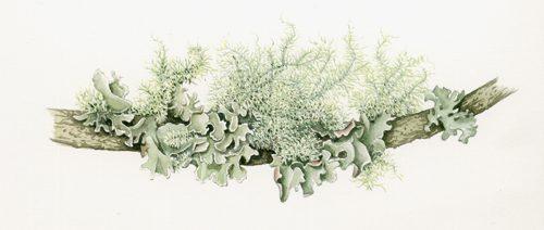 Lichen, bryophytes, fungi, botany, botanical terms, lichens,