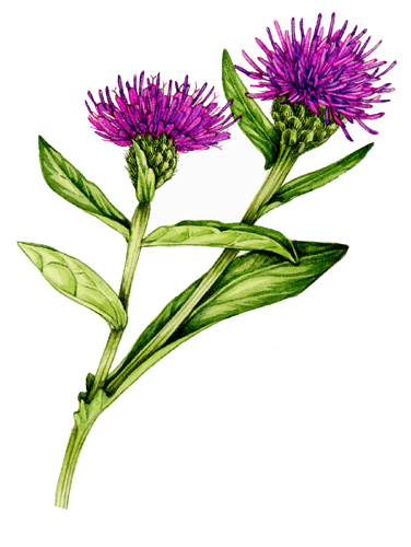 autumn, fall, harvest, wild flowers, wildflowers, watercolour, botanical illustration,
