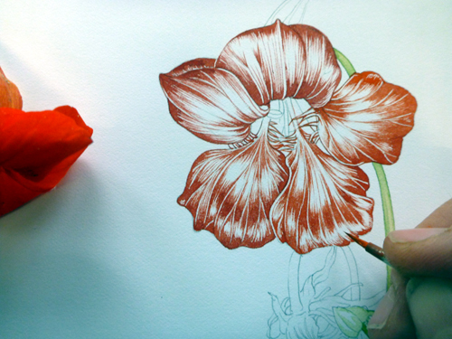 Nasturtium, sketchbook study, Garden forager, Tropaeolum, watercolour, flower,