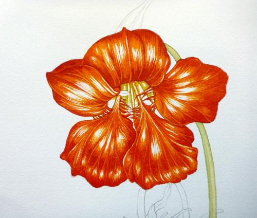 Nasturtium, sketchbook study, Garden forager, Tropaeolum, watercolour,
