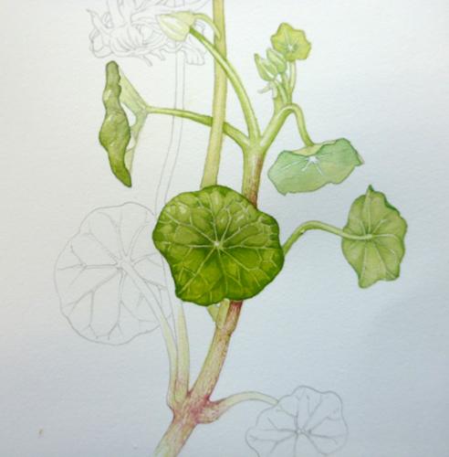 Nasturtium, sketchbook study, Garden forager, Tropaeolum, watercolour, leaf,