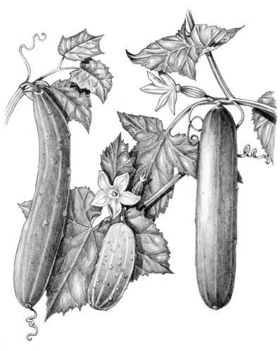 pencil, graphite, line, tonal, natural history, natural science illustration, botanical illustration,