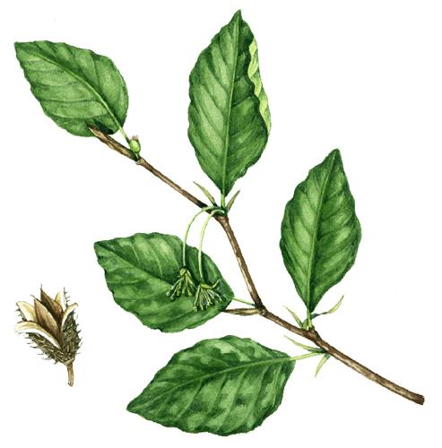 leaf, leaves, leaf shape, compound leaves, simple leaves, botany, botany terms,