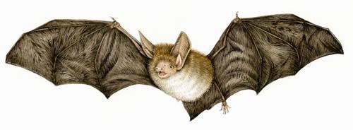 bat, bats, microchiroptera, Bechteins, echolocation, nocturnal, small mammals,