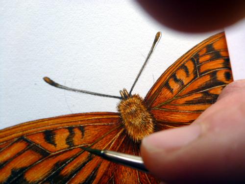 Sxs, step by step, demo, tutorial, art tutorial, online tutorial, entomological illustration, process, fritillary, butterfly, natural history illustration, scientific illustration,