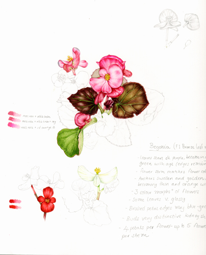 begonia flowers and plant