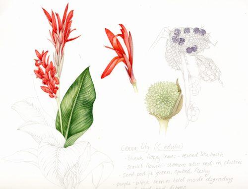 sketchbbok, sketchbook study, botanical illustration.