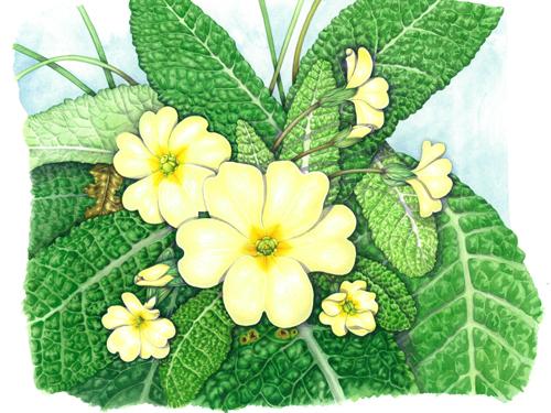 Primrose, flowers,