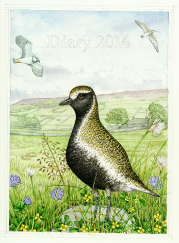 golden plover, Pluvialis apricaria, Pluvialis, Swaledale, North Yorkshire, Yorkshire dales, Yorkshire, scabious, quaking grass, briza, cotton grass, grass, tormentil, pontilla, eriphorum,