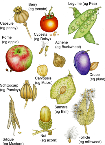 Fruits annotated diagram by Lizzie Harper botanical terms for fruit types lizzie harper