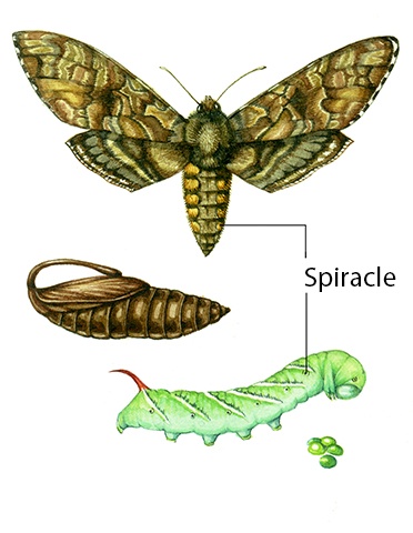 insect showing spiricles
