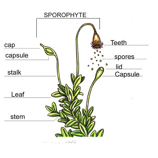 Botanical Illustration  Mosses