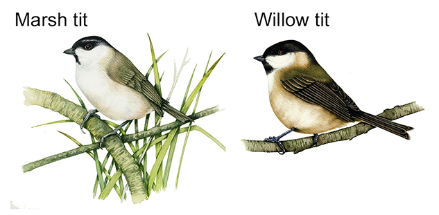 Willow and marsh tits