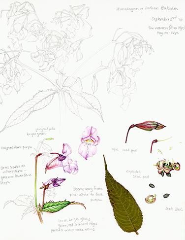 invasive species Himalayan balsam