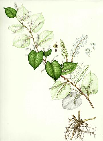 Invasive species: Knotweed